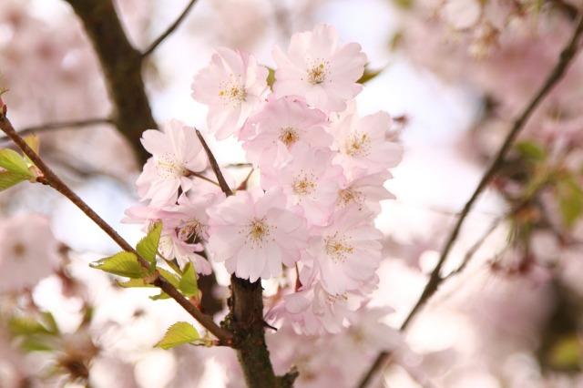 ornamental-cherry-415983_1280.jpg