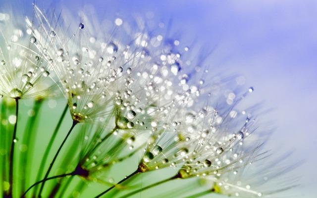 dandelion-843587_1280.jpg