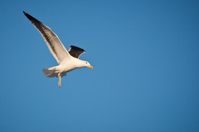 kelp-gull-in-flight-3141073_1280.jpg