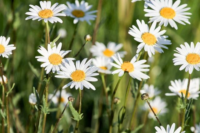 daisy-3397636_1280.jpg