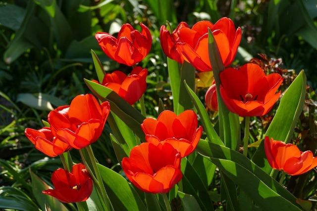 red-tulips-3360729_1280.jpg