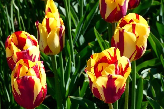tulip-3368625_1280.jpg
