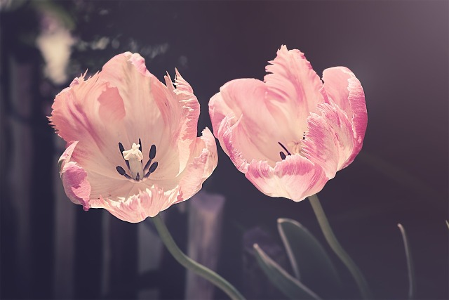 tulips-3339416_1280.jpg