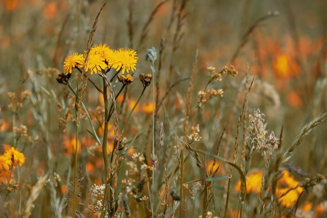 wild-flower-meadow-3386078_1280.jpg