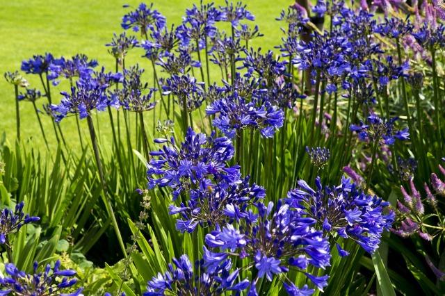 agapanthus-flowers-869092_1280.jpg