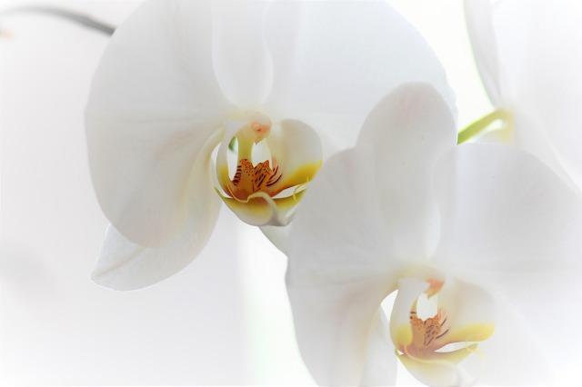 orchid-2097370_1280.jpg