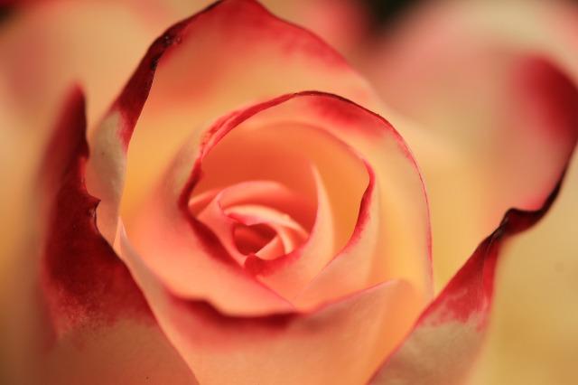 rose-2980163_1280.jpg